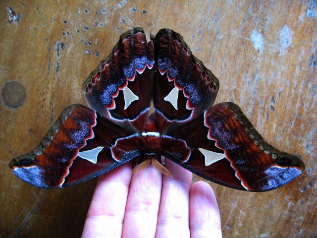 Mothra monteverde