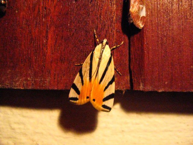 Rising sun moth
