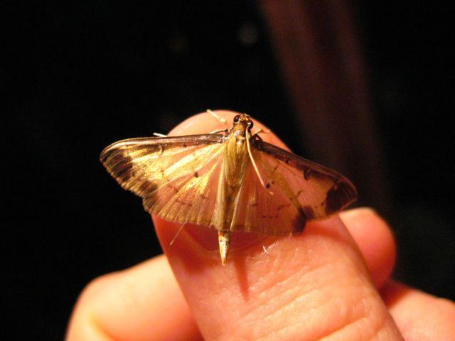 Thumb moth