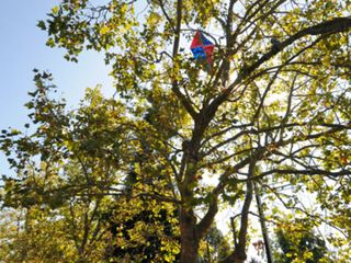 Kite_eating_tree