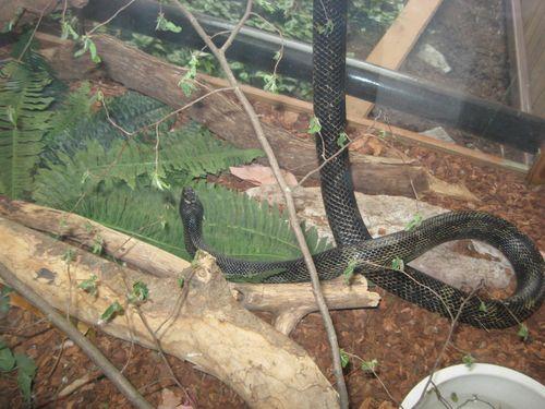 Black Rat Snake