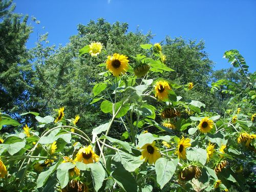 Diane's Sunflowers